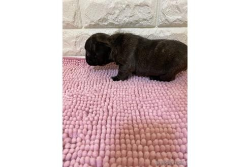 フレンチブルドッグの子犬(ID:1273911040)の3枚目の写真/更新日:2021-10-25
