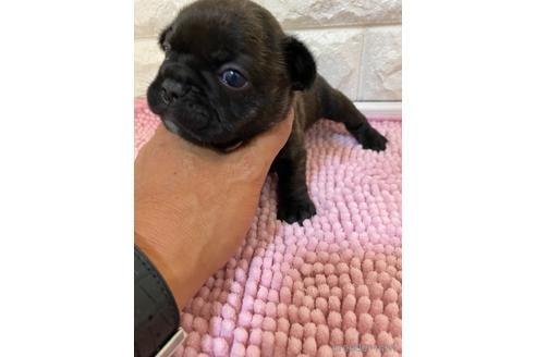 フレンチブルドッグの子犬(ID:1273911040)の4枚目の写真/更新日:2021-10-25