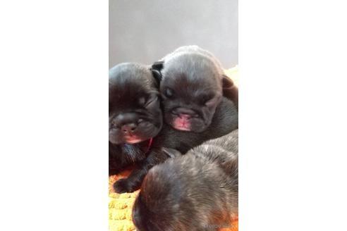 フレンチブルドッグの子犬(ID:1273911042)の1枚目の写真/更新日:2021-10-25
