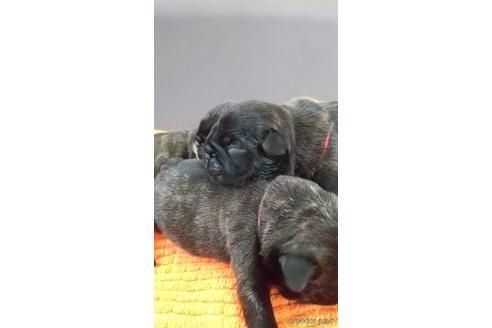 フレンチブルドッグの子犬(ID:1273911042)の4枚目の写真/更新日:2021-10-25