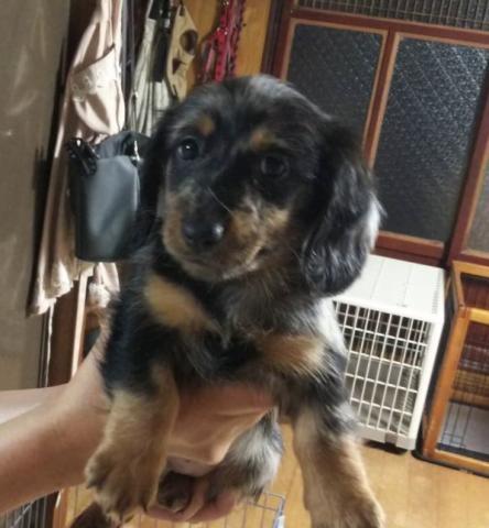 ミニチュアダックスフンド(ロング)の子犬(ID:1274011007)の1枚目の写真/更新日:2018-11-12