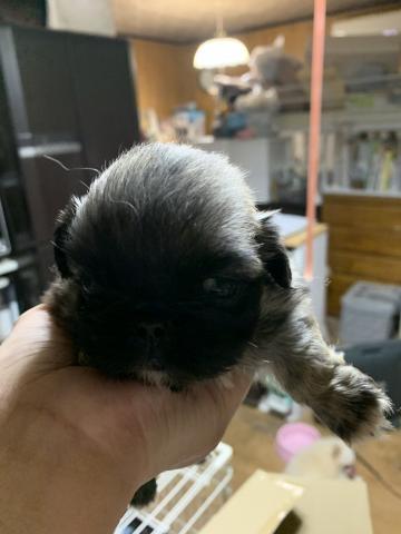 ペキニーズの子犬(ID:1274011008)の1枚目の写真/更新日:2018-11-12
