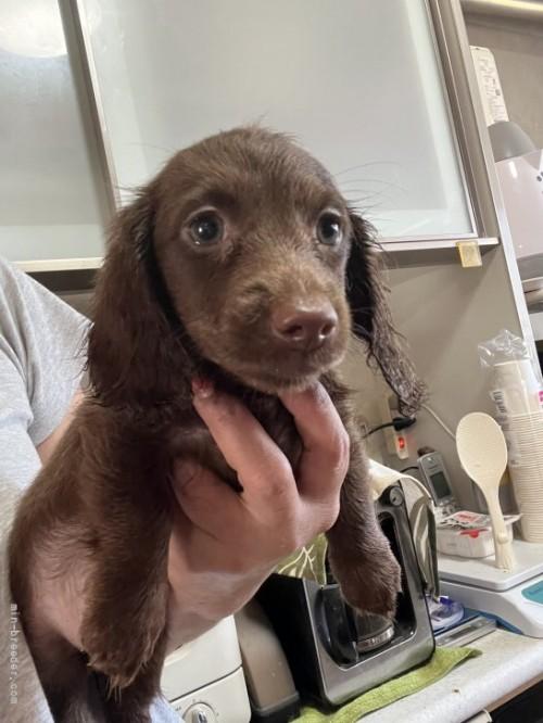 ミニチュアダックスフンド(ロング)の子犬(ID:1274011009)の1枚目の写真/更新日:2018-11-12