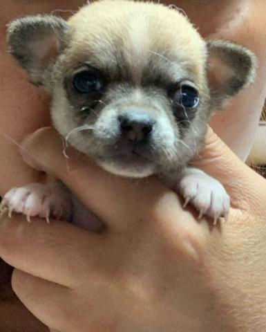 チワワ(スムース)の子犬(ID:1274011018)の1枚目の写真/更新日:2019-07-17