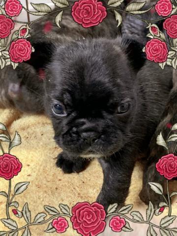 フレンチブルドッグの子犬(ID:1274011022)の1枚目の写真/更新日:2020-01-04