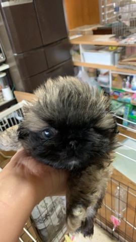 ペキニーズの子犬(ID:1274011025)の1枚目の写真/更新日:2020-01-13
