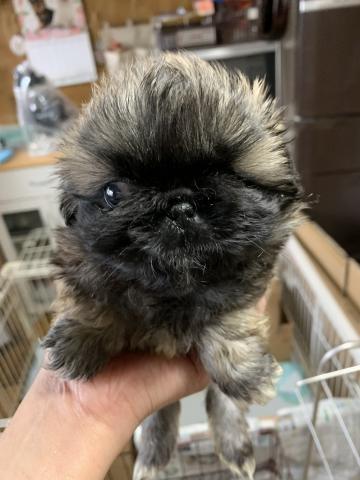 ペキニーズの子犬(ID:1274011025)の2枚目の写真/更新日:2020-01-13