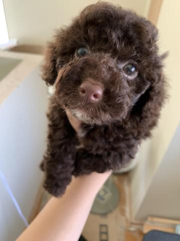 トイプードルの子犬(ID:1274011031)の1枚目の写真/更新日:2020-05-21