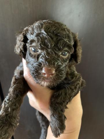 トイプードルの子犬(ID:1274011032)の1枚目の写真/更新日:2020-05-29