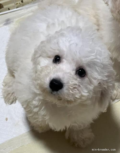 ビションフリーゼの子犬(ID:1274011034)の1枚目の写真/更新日:2021-01-24