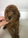 ミニチュアプードルの子犬(ID:1274111001)の1枚目の写真/更新日:2018-08-21