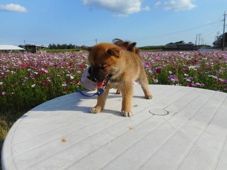 柴犬の子犬(ID:1274311002)の1枚目の写真/更新日:2018-08-23