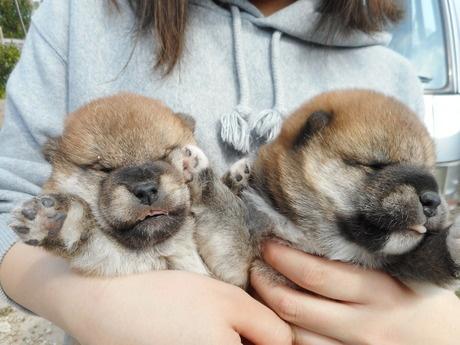 柴犬の子犬(ID:1274311006)の2枚目の写真/更新日:2019-04-25
