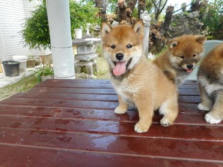 柴犬の子犬(ID:1274311007)の1枚目の写真/更新日:2019-04-08