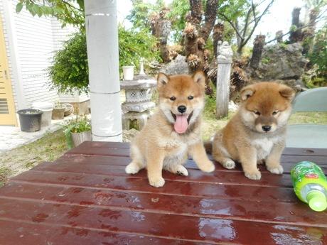 柴犬の子犬(ID:1274311007)の2枚目の写真/更新日:2019-04-25