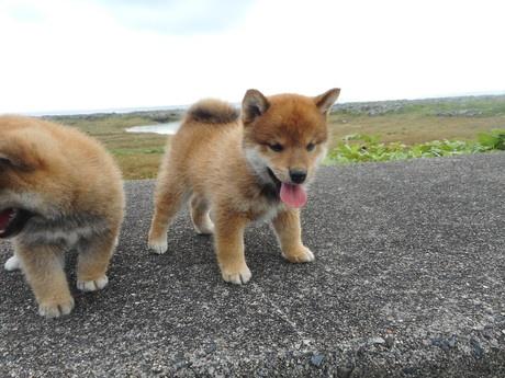 柴犬の子犬(ID:1274311007)の3枚目の写真/更新日:2019-04-25