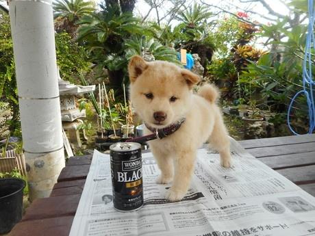 柴犬の子犬(ID:1274311008)の1枚目の写真/更新日:2019-04-08