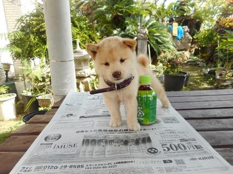 柴犬の子犬(ID:1274311008)の2枚目の写真/更新日:2019-04-25