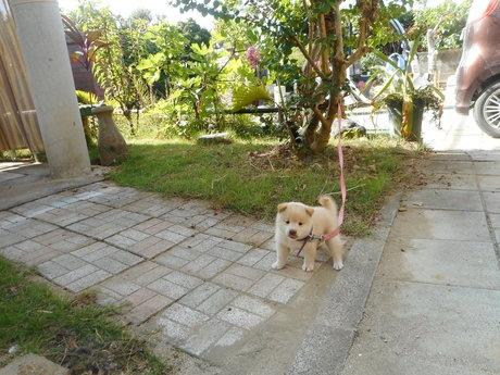柴犬の子犬(ID:1274311008)の3枚目の写真/更新日:2019-04-25