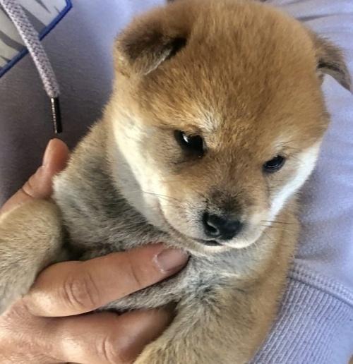 柴犬の子犬(ID:1275011010)の1枚目の写真/更新日:2019-04-22