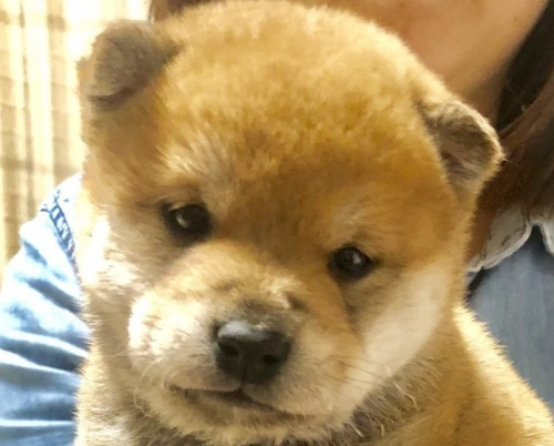 柴犬の子犬(ID:1275011010)の2枚目の写真/更新日:2019-04-22