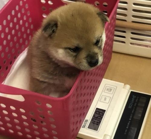 柴犬の子犬(ID:1275011010)の3枚目の写真/更新日:2019-04-22