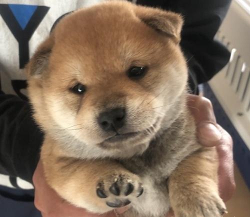 柴犬の子犬(ID:1275011010)の5枚目の写真/更新日:2019-04-22
