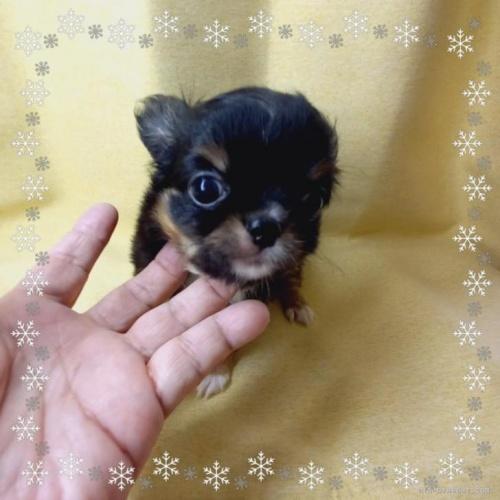 チワワ(ロング)の子犬(ID:1275111001)の1枚目の写真/更新日:2021-01-26