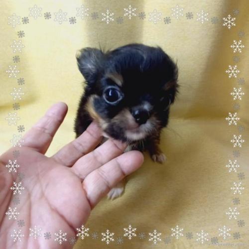 チワワ(ロング)の子犬(ID:1275111001)の2枚目の写真/更新日:2021-01-26