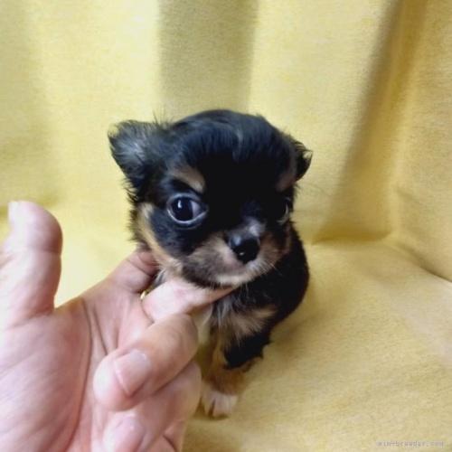 チワワ(ロング)の子犬(ID:1275111001)の3枚目の写真/更新日:2021-01-26