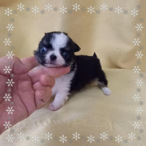 チワワ(ロング)の子犬(ID:1275111002)の1枚目の写真/更新日:2021-03-22