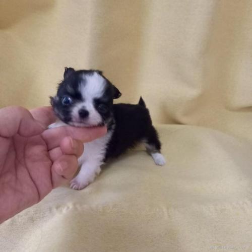 チワワ(ロング)の子犬(ID:1275111002)の3枚目の写真/更新日:2021-03-22