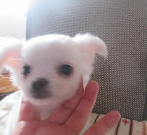 チワワ(ロング)の子犬(ID:1275111003)の1枚目の写真/更新日:2019-01-14