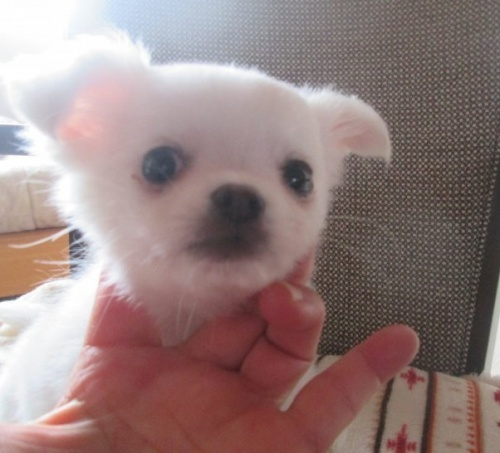 チワワ(ロング)の子犬(ID:1275111003)の2枚目の写真/更新日:2020-01-21