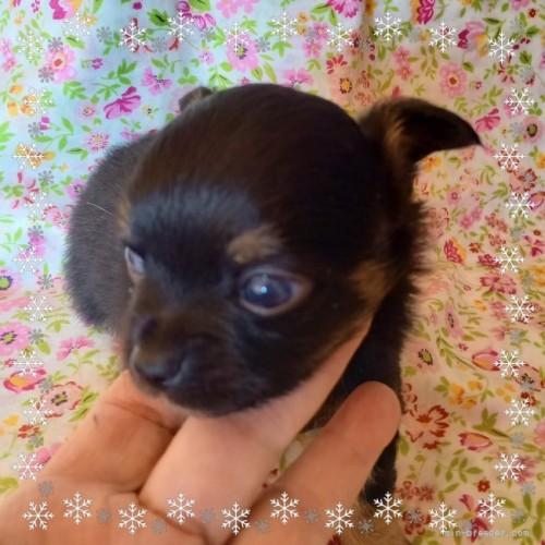 チワワ(ロング)の子犬(ID:1275111004)の1枚目の写真/更新日:2020-11-25