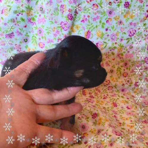 チワワ(ロング)の子犬(ID:1275111004)の3枚目の写真/更新日:2020-11-25