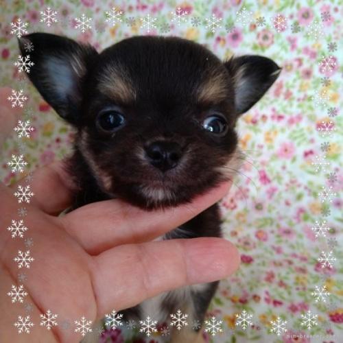 チワワ(ロング)の子犬(ID:1275111005)の1枚目の写真/更新日:2021-07-31