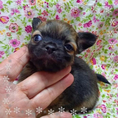 チワワ(ロング)の子犬(ID:1275111006)の1枚目の写真/更新日:2020-11-28