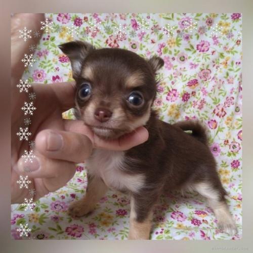チワワ(ロング)の子犬(ID:1275111007)の1枚目の写真/更新日:2020-11-28