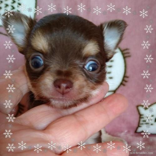 チワワ(ロング)の子犬(ID:1275111007)の2枚目の写真/更新日:2020-11-28