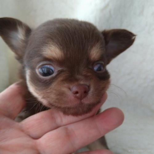 チワワ(ロング)の子犬(ID:1275111007)の3枚目の写真/更新日:2021-01-26
