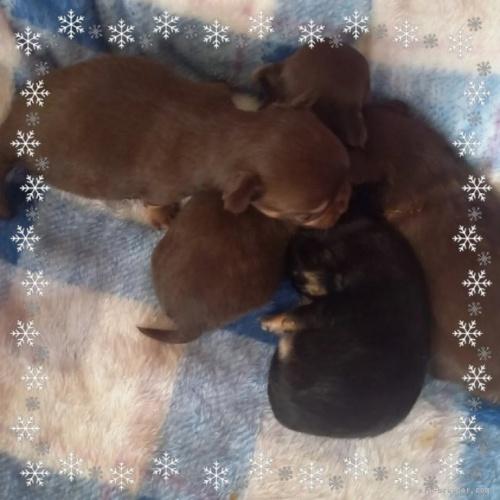 チワワ(ロング)の子犬(ID:1275111007)の4枚目の写真/更新日:2021-01-26