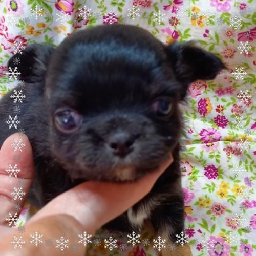 チワワ(ロング)の子犬(ID:1275111008)の1枚目の写真/更新日:2020-12-01
