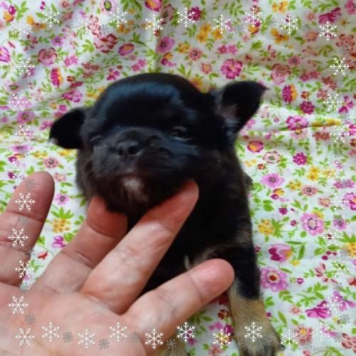チワワ(ロング)の子犬(ID:1275111008)の2枚目の写真/更新日:2020-12-01