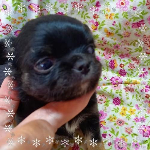 チワワ(ロング)の子犬(ID:1275111008)の3枚目の写真/更新日:2020-12-01