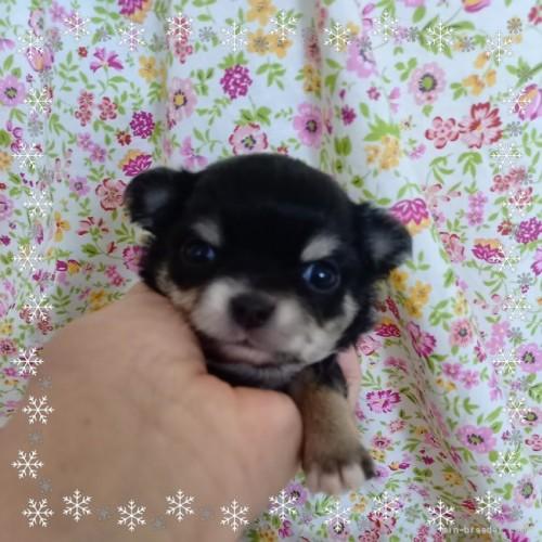 チワワ(ロング)の子犬(ID:1275111009)の1枚目の写真/更新日:2021-04-01