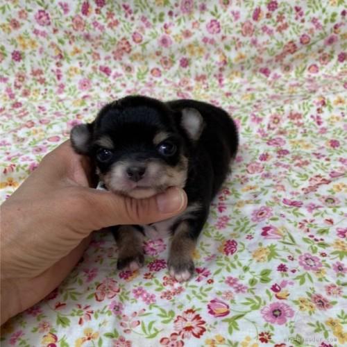チワワ(ロング)の子犬(ID:1275111009)の2枚目の写真/更新日:2021-04-01