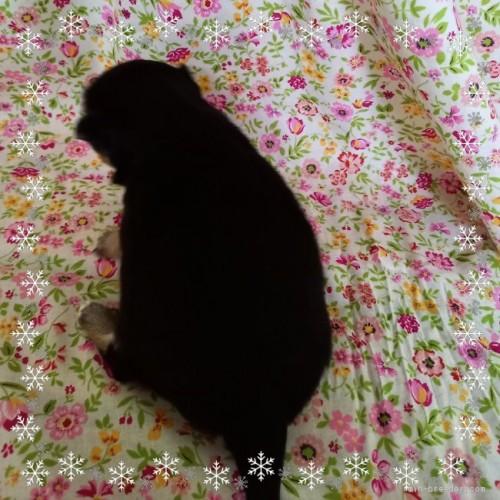 チワワ(ロング)の子犬(ID:1275111009)の4枚目の写真/更新日:2021-04-01