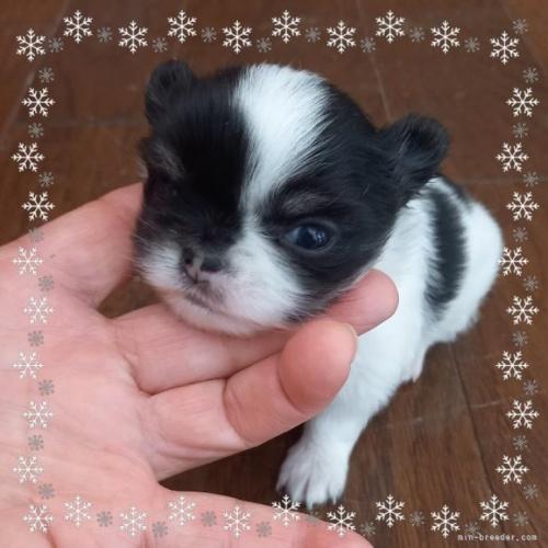 チワワ(ロング)の子犬(ID:1275111010)の1枚目の写真/更新日:2021-04-01