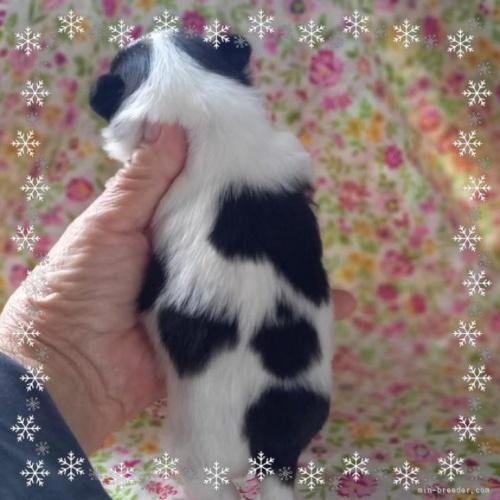 チワワ(ロング)の子犬(ID:1275111010)の3枚目の写真/更新日:2021-04-01